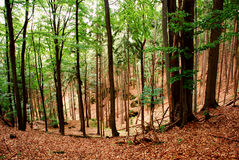 Old forest Stock Image