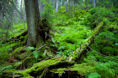 Old forest Royalty Free Stock Photo