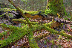 Old forest. And fallen trees in the moss Royalty Free Stock Images
