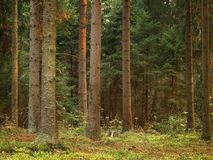 Old forest Stock Images