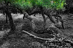 Old forest. Black and white photo of trees with green foliage Royalty Free Stock Photos