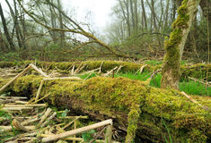 Old forest Stock Photography