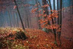 Old forest with fog in autumn Stock Photos