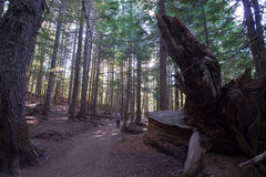 Old forest with footpath with fallen trees and roots Stock Photography