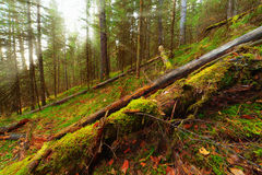 Old forest Royalty Free Stock Photography