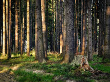 The old forest last rays of light. Background nature in ancient woods last rays of light Royalty Free Stock Images