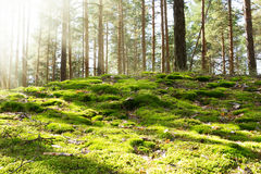 Old forest in the morning. Sun Royalty Free Stock Photography