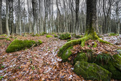Old forest with moss covered trees Stock Photos