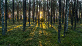 Old forest with moss covered trees and rays of sun Stock Photos