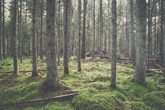 Old forest with moss covered trees and rays of sun Royalty Free Stock Photo