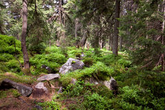 Old forest in the mountain -   stones, moss and pine trees. Royalty Free Stock Photos