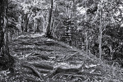 Old Forest Path. With tree roots in black and white Stock Images
