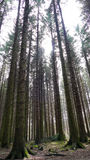 Old forest - Pine trees Stock Photo