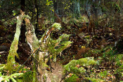 Old forest snag. Old forest snag, covered with green moss on blurred background deserted forest royalty free stock photography