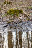 An old forest stump covered with green moss next to the April puddle with the reflection of trees.  Stock Photo