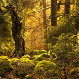 Old forest during sunset Royalty Free Stock Photography