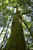 Old forest tree royalty free stock photography