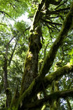 Old forest tree royalty free stock image