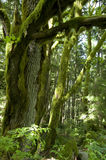 Old forest trees Stock Photo