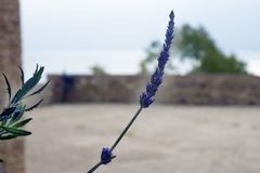 In the old fortress grows a lonely branch of lavender with a purple flower. Flower against the azure sea and the brick walls of th. E castle. Malaga, Spain royalty free stock photography