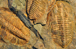 Old fossil, trilobite Royalty Free Stock Photo