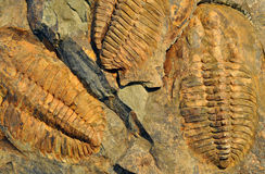 Old fossils - trilobit Royalty Free Stock Photo