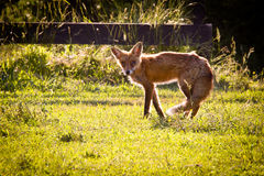 Old fox slopes off across garden Royalty Free Stock Photography