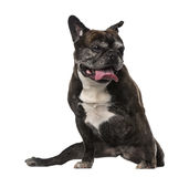 Old French Bulldog (7 years old) Royalty Free Stock Image
