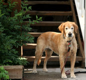 Old Friend. Older golden retriver waiting for his friend stock images
