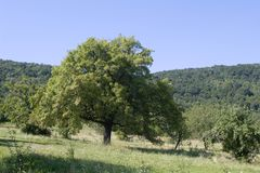 Old fruit tree in the landscape Royalty Free Stock Photo