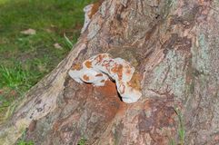 Old fungus on a sycamore tree Stock Photo