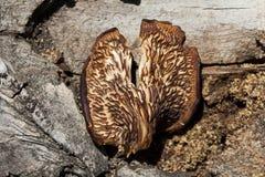 Old fungus Royalty Free Stock Photos