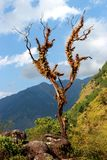 Old furry lonely tree with dry branches in himalayan mountains with blue sky clouds. Old furry lonely tree with dry branches and stones underneath in himalayan Royalty Free Stock Photos
