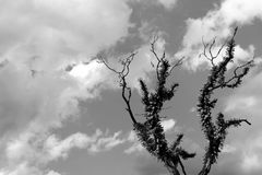 Old furry lonely tree with dry branches in himalayan mountains with sky clouds black and white, monochrome. Old furry lonely tree with dry branches in himalayan Stock Photography