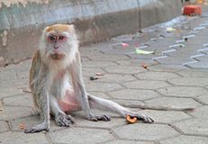 Old furry macaque is sitting on asphalt Royalty Free Stock Image