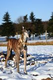 Old Galgo Espanol. Standing in a snowy landscape Stock Photography