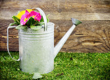 Old galvanised metal watering can. Filled with colourful summer flowers standing on a neat green lawn in front of the wall of a rustic wooden shed stock image