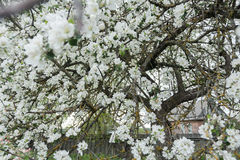 Old garden apple tree in spring full bloom covering with snowy white flowers at farm log house background Stock Images