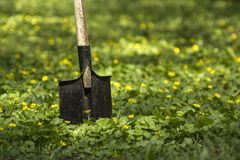 Old garden shovel in a beautiful lawn of yellow spring flowers stock images