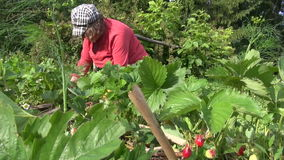 Old gardener woman weed strawberry plants with ripe berry stock footage