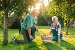 Old gardeners couple, apple basket. Stock Photos