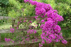 Old gate with flowers ramada stock photos