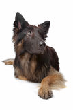 Old German Shepherd Dog. In front of a white background Stock Photo