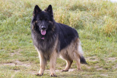 Old german shepherd dog Royalty Free Stock Image