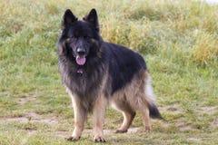 Old german shepherd dog. Attentive old german shepherd dog Royalty Free Stock Image