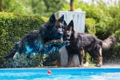 Old German shepherd dog jumps in a pool. Old German shepherd dog jumps in a swimming-pool Stock Photos