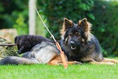 Old German Shepherd dog looks for a flirt tool. Old German Shepherd dog lies on the lawn and looks for a flirt tool Stock Image