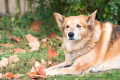 Old German Shepherd Dog or Pet Resting Royalty Free Stock Photography