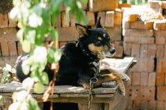 An old german shepherd dog portrait. In the village yard Stock Image