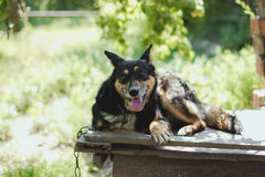 An old german shepherd dog portrait. In the village yard Stock Images